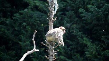 Macaco pulando sobre árvores e cordas — Vídeo Stock