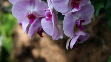 Pink orchid's blossom — Stockvideo