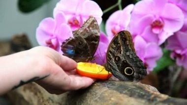 Butterflies eating an orange — Stock Video