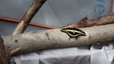 Small black and yellow butterfly on a branch — Stock Video