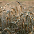 Matured wheat — Stock Video