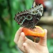 Butterfly eating orange fruit — Stock Video