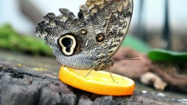Exotic butterfly feeding on a slice of orange — Stock Video