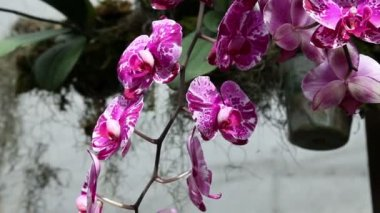 Beautiful violet orchid's blossoms in close up — Stock Video