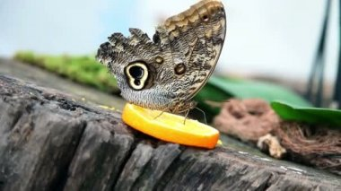 Nice close shot of an exotic butterfly feeding on a slice of orange — Stock Video