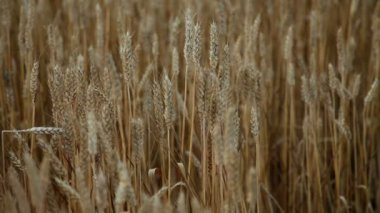 Grains of wheat — Stock Video