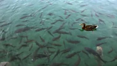Close up shot of a shoal of fishes and ducks swimming inthe Plitvice lake — Stok video