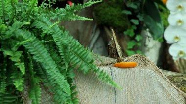 Schmetterling Orange essen — Stockvideo