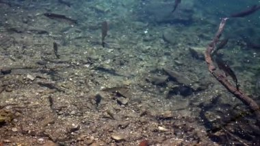 Close up shot of a shoal of fishes swimming inthe Plitvice lake — Stock Video
