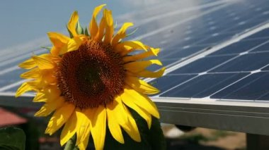 Beautiful sunflower and solar power station — Stock Video