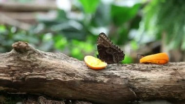 Butterflies eatng an orange on a tree trunk — Stock Video