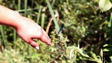 Womans main toucher une libellule — Vidéo