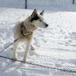 Husky enjoying winter while being tied to chain — Vídeo de stock