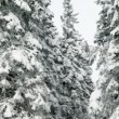 Idyllic winter time of snowy spruce trees — Stock Video