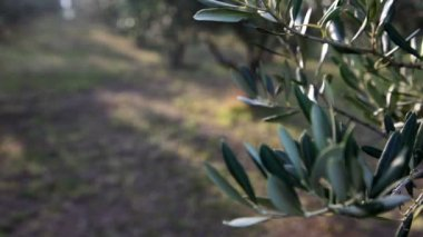 Close up Pan shot of the olive branch — Stock Video