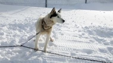 Husky enjoying winter while being tied to chain — Stock Video