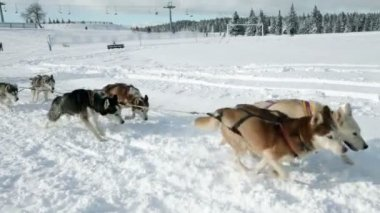 Huskies enjoying while pulling sledge in winter time — Wideo stockowe