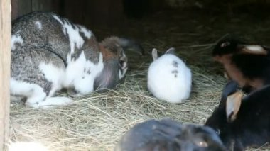Big and small rabbits eating hay — Stock Video