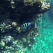 Big fish in sea swimming over small fishes next to corals — Stock Video