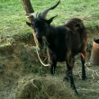 Stock Video: Middle shot of black goat on pasture