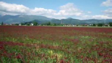 проезжая через поле из красных роз — Стоковое видео