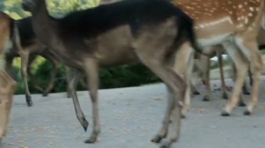 Close up on deer feeding on street — Stockvideo