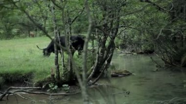 Big black bull grazing on pasture by a river — Stockvideo