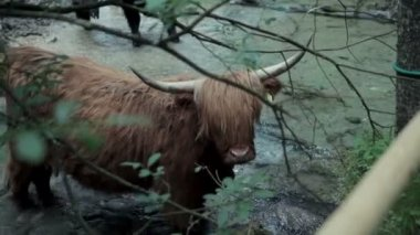 Big brown bull enjoying chilling in fresh river — Stockvideo