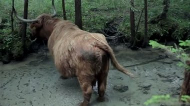 Big brown bull enjoying chilling in fresh river — 图库视频影像