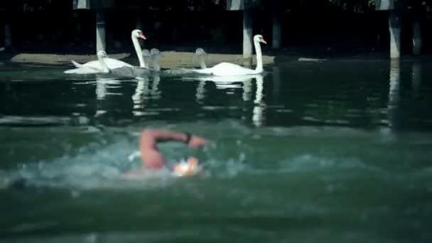 Homme nageant à côté de cygnes blancs dans le lac — Vidéo