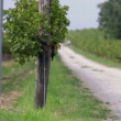Country road with grapevines on both sides — Stock Video #37905811