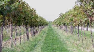 Middle grassy section between two grapevines — Stock Video