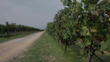 Two vineyard's split with macadam road on sunny day — Stock Video
