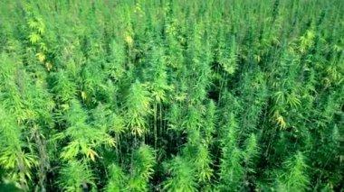 鸟瞰拍摄的工业大麻字段 — 图库视频影像