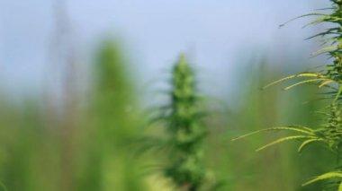 Unfocused cannabis plant shot — Stock Video
