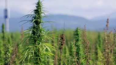 Group of hemp plants growing in nature — Stock Video