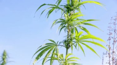 Wind is shaking industrial hemp on sunny day — Video Stock