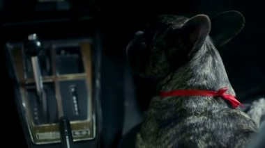 Woman fondles french bulldog during the night drive — Vídeo Stock