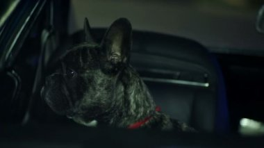 French bulldog looking through the car window — Stock Video