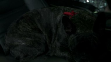 French bulldog resting on passenger's seat — Stockvideo