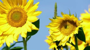 Sunflower wobbling slightly in the wind — Vídeo de stock