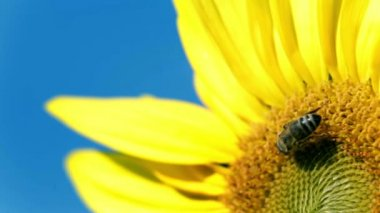 Small bee gathering the pollen on the sunflower's head — Stock Video