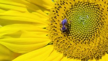 Busy bee on the flower head — Stock Video