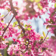Cherry Blossoms — Stock Photo #26369961