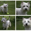 West Highland White Terrier puppy — Stock Photo