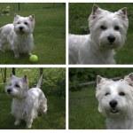West Highland White Terrier puppy — Stock Photo