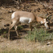 Mule Deer at Bryce Canyon — Stock Photo