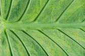 Detail of Large Leaf with Dew — Stock Photo