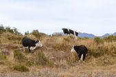 Patagonya inekler — Stok fotoğraf