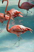 Flamingos in blue water — Stock Photo
